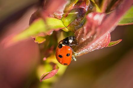 bọ rùa, vĩ mô, Thiên nhiên, côn trùng, bọ cánh cứng, đóng, điểm