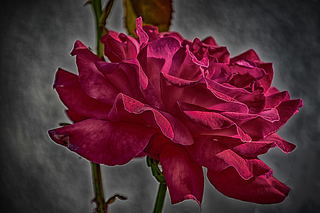 Rosa, vermell, força, natura, pètal, planta, flor