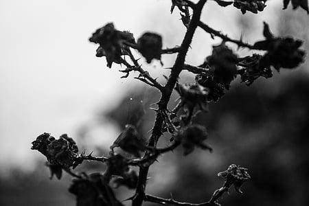 tancar, natura, blanc de negre, planta, flor, arbre, branca