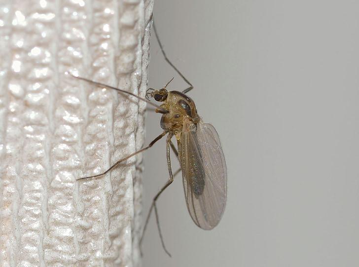 natuur, insecten, Mosquito