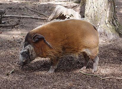 porc senglar, porc, vida silvestre, animal, natura, mamífer, zoològic
