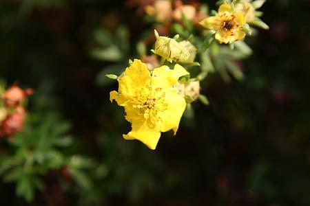 kollane lill, Aed, Poppy, kollane, lill, taim, loodus