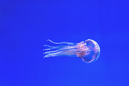 aquarium, blue, exotic, jellyfish, pink, swimming, toronto