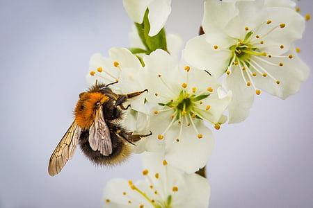 Blossom, Bloom, Hummel, beporzás, rovar, természet, kert