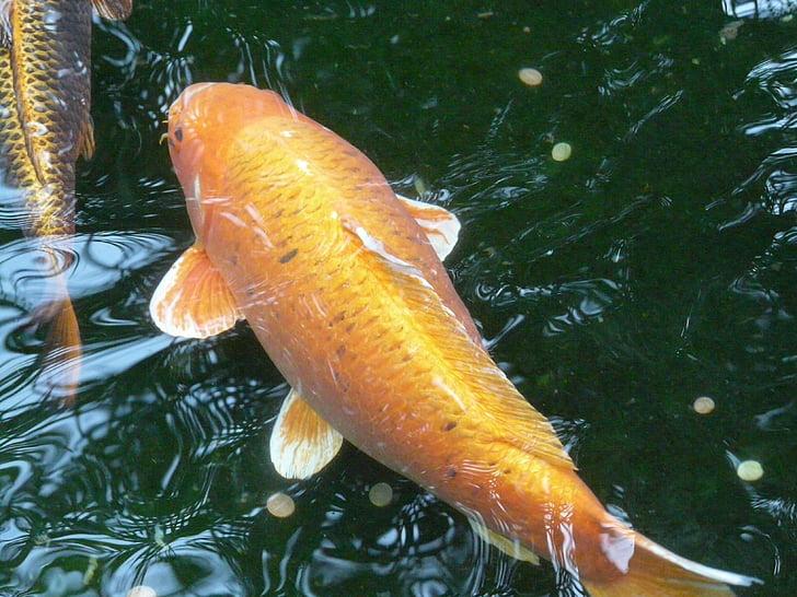 Золотая рыбка, воды, Рыба, Существо, животное, плавать, плавник