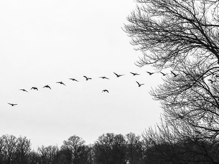 стадо, стичат, гъски, птици, птици летят, водолюбивите птици, птица