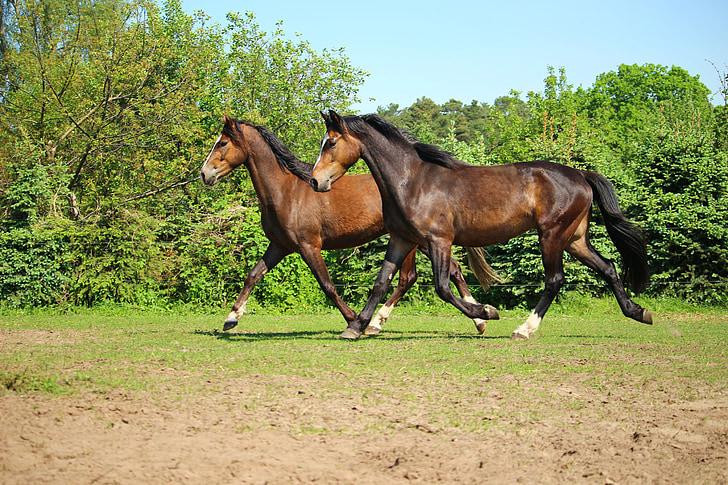 horse, pony, trot, pasture, brown, seahorses, pas de deux