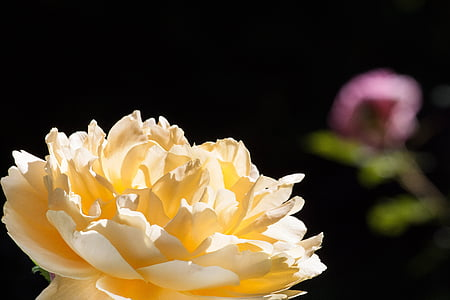 Rosa, Rosa, groc, verd, flors, l'estiu, flor
