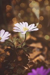 vetrnica, bela, bela vetrnica, cvet, beli cvet, cvet, cvet