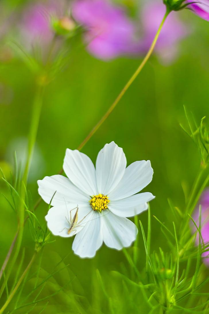cosmea bipinnata, cosmea, como bipinnatus, flower, composites, blossom, bloom