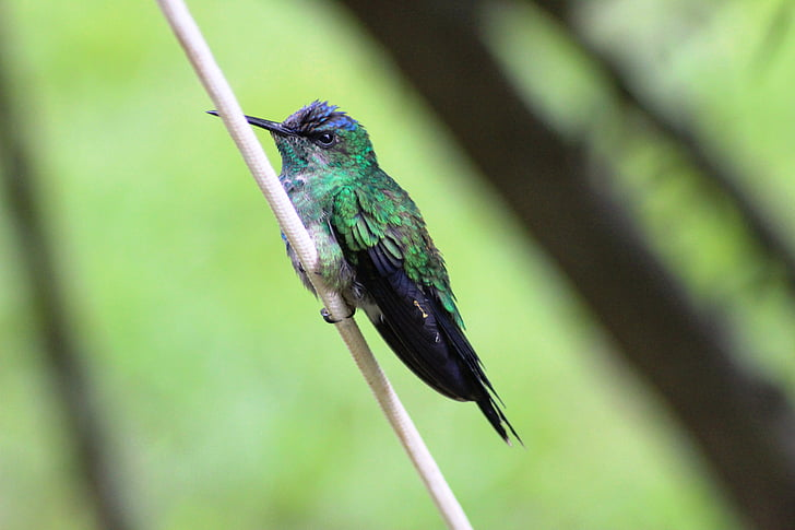 bird, hummingbird, small, fauna