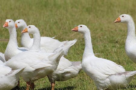 hanhet, kotimaan hanhi, valkoinen, hanhi, Pet, eläinten, karjan