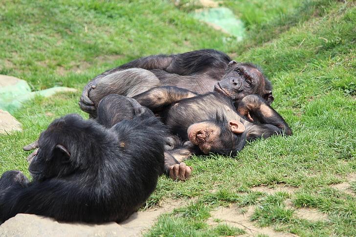 relaxen, luieren, chimpansee, aap, dierentuin, slaap, gezellige