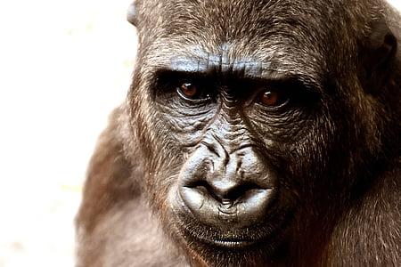gorilla, monkey, animal, zoo, furry, omnivore, wildlife photography
