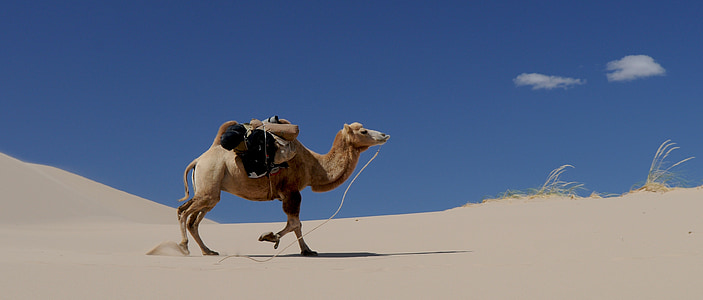 lạc đà, sa mạc, Cát, Mông Cổ, cồn cát, động vật, Arabia