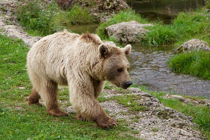 loodus, loomade, Pruunkaru, Siberi karu, karu