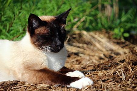 猫, 子猫, mieze 型, シャム猫, サイアム, シャム, 猫の品種