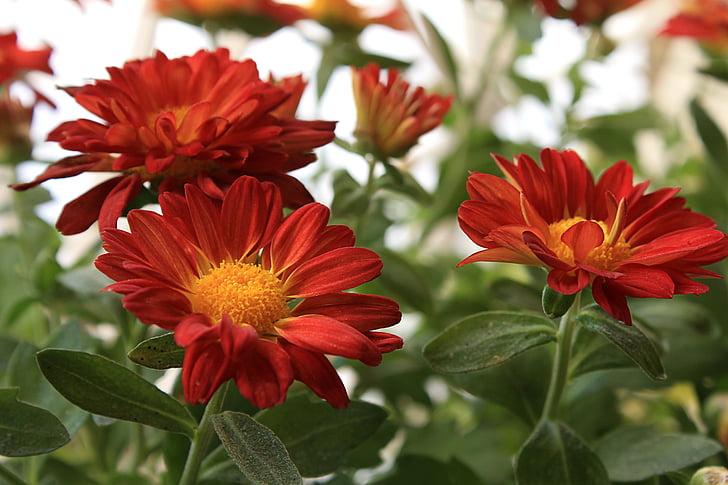 Cveće - Page 21 Margaret-red-daisy-flowers-garden-preview