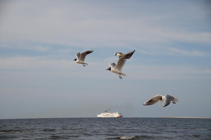 pescarusi, pescarusi, mare, zboară, Sea bird, Mării Baltice