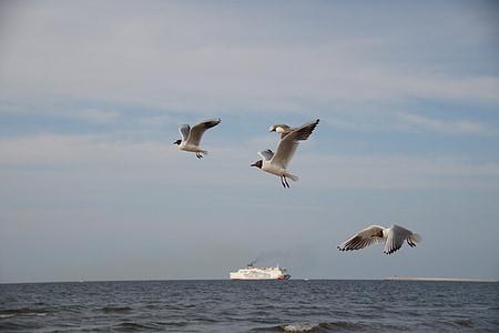 นกนางนวล, นกนางนวล, ทะเล, แมลงวัน, นกทะเล, ทะเลบอลติก