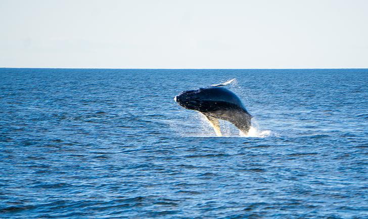 knölvalar, Whale, Ocean, havet, däggdjur, bryter mot, svans