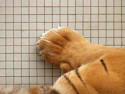 tiger paw, paw, sumatran tiger, tiger, cat, predator, dangerous