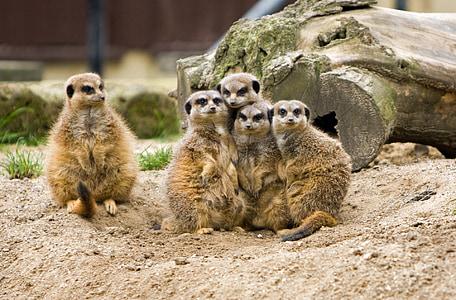 Meerkat, meerkats, looma, loomade, looduslike, Wildlife, pere