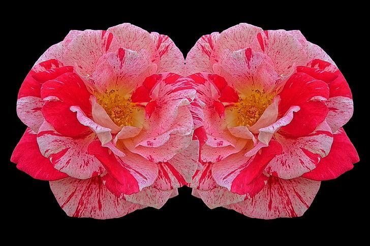 Roses, múltiples colors, vermell, Rosa, flor rosa, flors, bellesa
