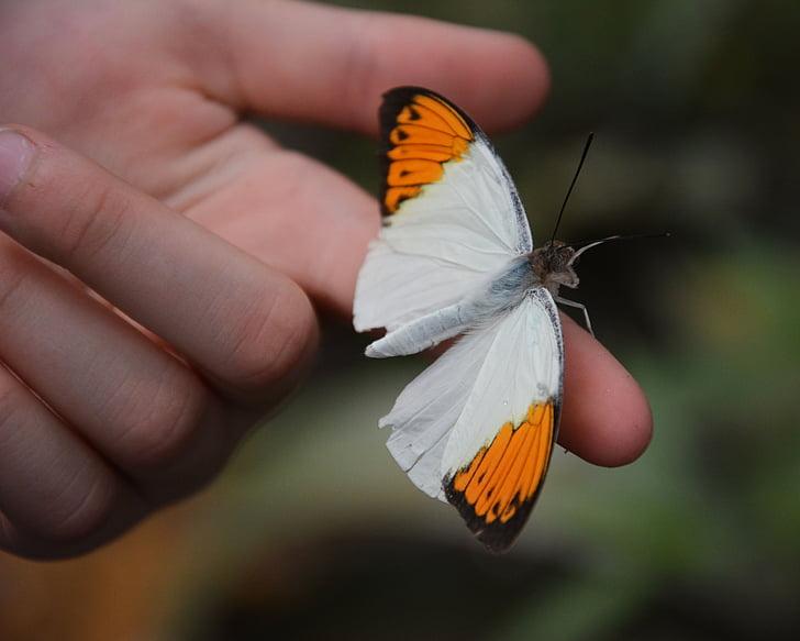 spārnus, tauriņš, tropu mājā, tauriņu māju, spārnu, daba, kukainis
