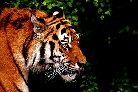 Тигър, Хищникът, кожа, Красив, опасни, котка, дива природа фотография