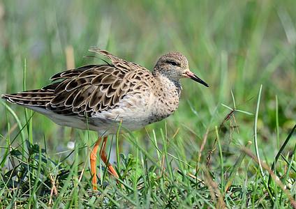 птица, блато, влажните зони, мигриращи, Азия