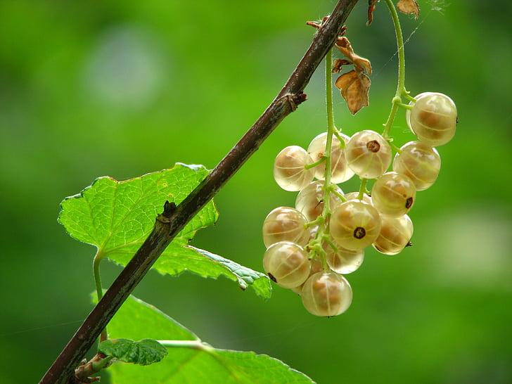 ríbezle, nezrelé, staršie, Bush, Berry, egreše skleníkových, ríbezle