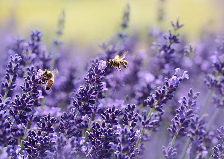 lavanda, abella, l'estiu, porpra, jardí, nèctar, veritable lavanda
