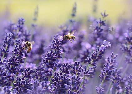 lavender, bee, summer, purple, garden, nectar, true lavender