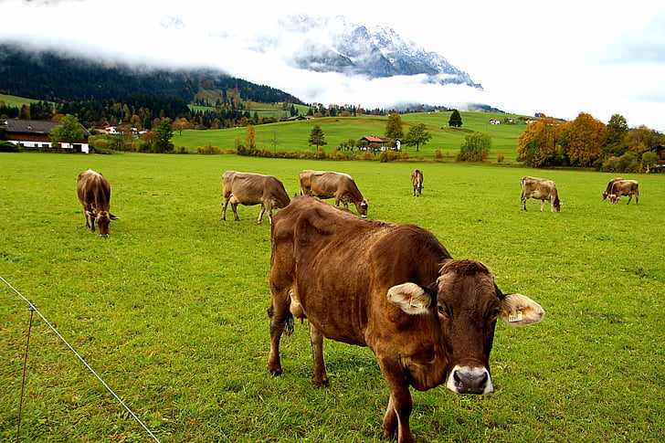 cows, tyrol, alm, austria, nature, agriculture