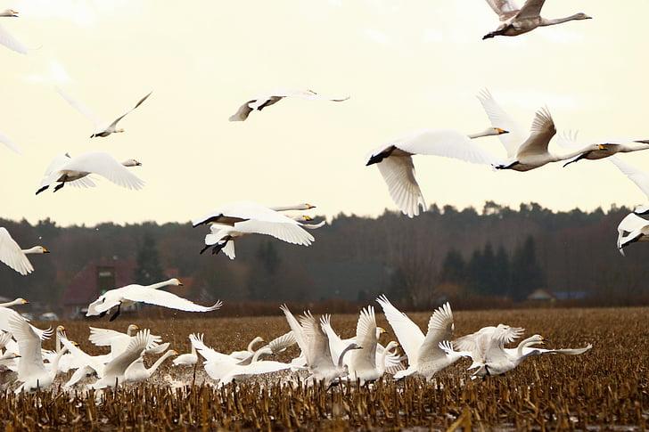 Swan, whooper swan, pasăre, pasăre migratoare, lebede, păsări, câmp