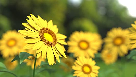 päevalill, lill, loodus, kollane, päevalille välja, põllumajandus, suve lilled