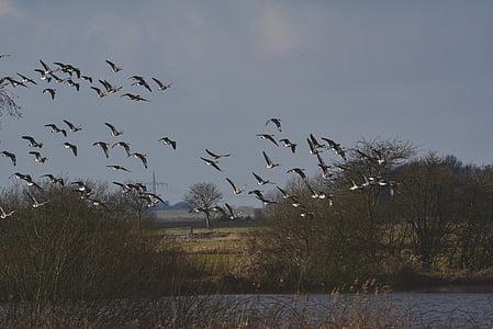 ramat d'ocells, oques, aus migratòries, eixam, oques salvatges, volar, cel
