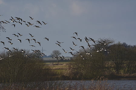kawanan burung, Angsa, burung-burung, kawanan, Angsa liar, terbang, langit
