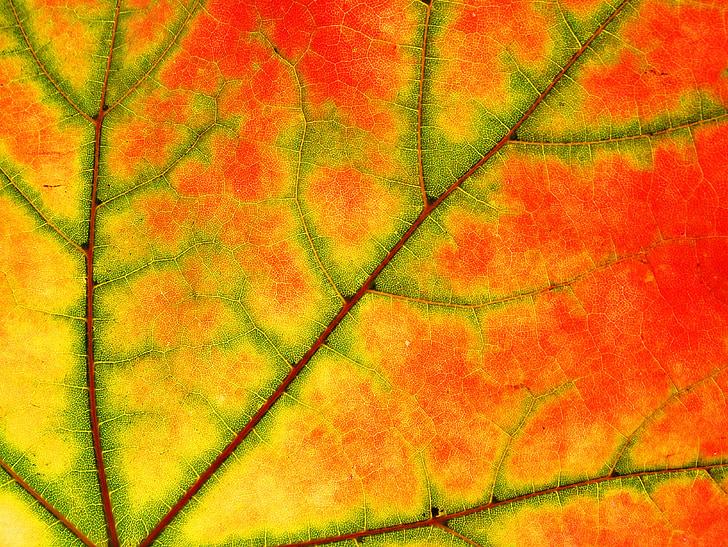 kļava, Leaf, koks, daba, krāsa, kritums, kļavas