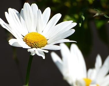 flor, Margarida, camp, jardí, natura, groc, primavera