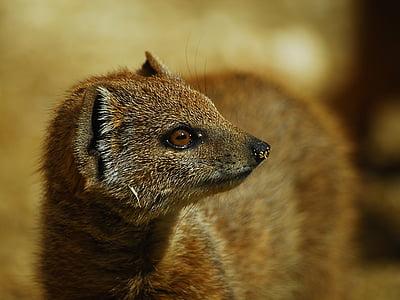 kollane Mangust, looma, imetaja, Wildlife, Meerkat, loomad looduses, loodus