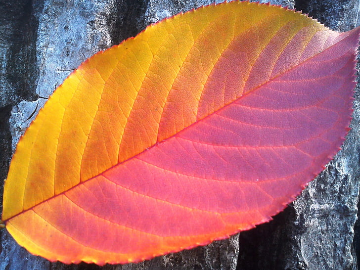 листя, Осінь, червоний, жовтий, пори року