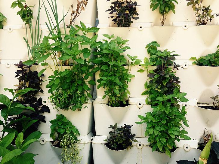 garšaugi, ārstniecības augu, audzēšanas, zaļa, augi, kulinārijas, herb sienas