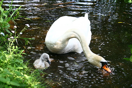 swan, swan young, lake, nature, swimming, wildlife