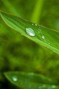 fulles de bambú, planta, fullatge, gotetes d'aigua