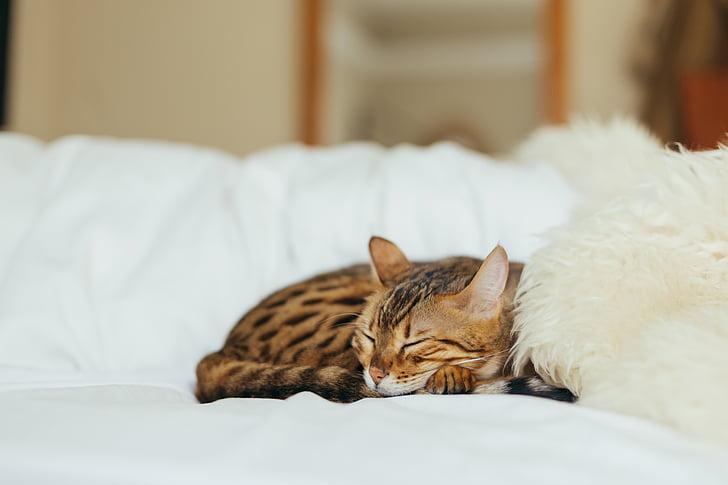 gat, gatet, animal, animal de companyia, entelar, pelatge, llit