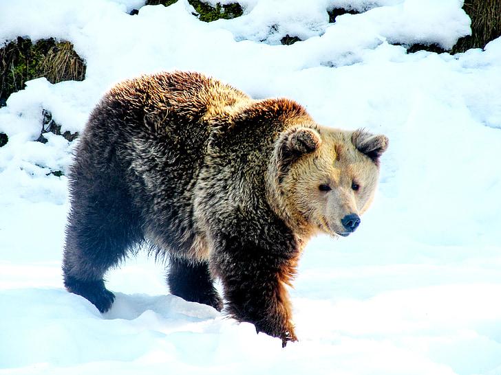 bear, snow, brown bear, winter, teddy bear, nature, wintry