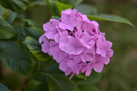 soov, lill, Fotograafia, Iftar, Suurendus:, roosa, foto