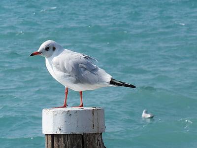seagull, bird, water bird, lake, garda, sea